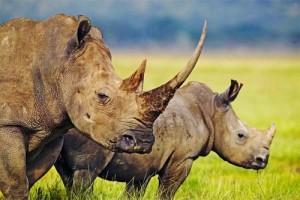 rhino-horn