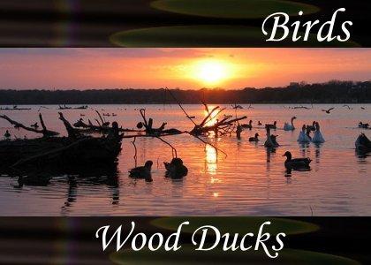SoundScenes - Atmo-Birds - Wood Ducks