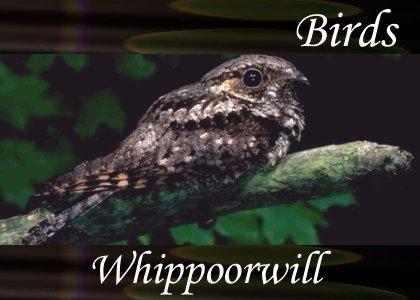 SoundScenes - Atmo-Birds - whippoorwill