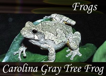 Carolina Gray Tree Frog