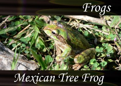 Dwarf Mexican Tree Frog