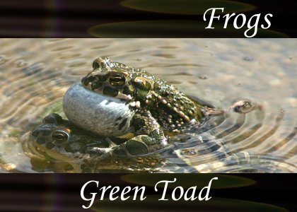 SoundScenes - Atmo-Frogs - Green Toad
