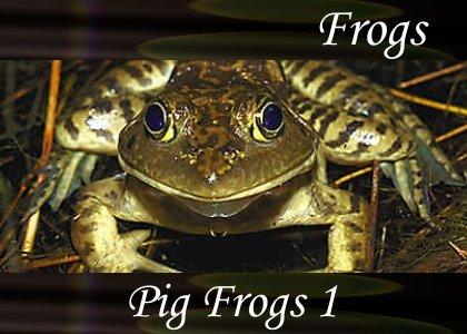 SoundScenes - Atmo-Frogs - Pig Frog 1