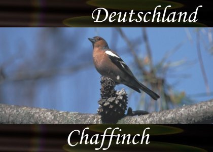 SoundScenes - Atmo-Germany - Deutschland, Chaffinch