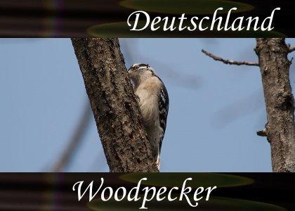 SoundScenes - Atmo-Germany - Deutschland, Woodpecker