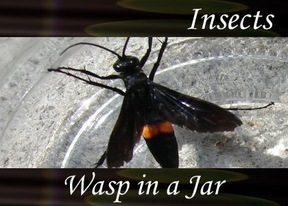 SoundScenes - Atmo-Insects - Wasp In A Jar
