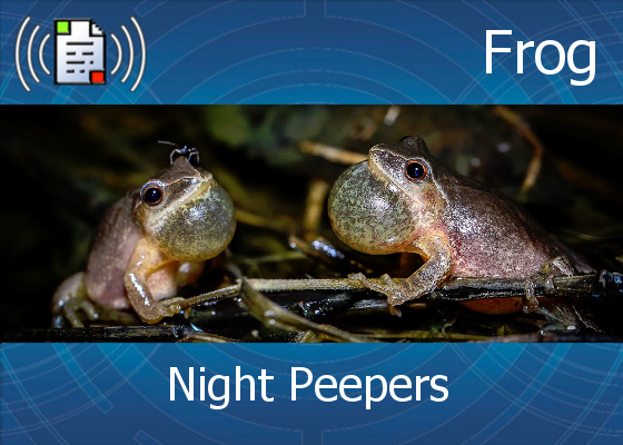 km-atmo-frog – night peepers