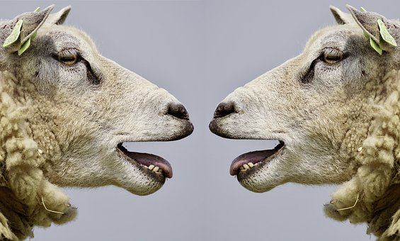 Sheep heads in profile facing each other.
