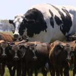 Giant cow named Knickers is standing near 15 smaller Wagyu cows.