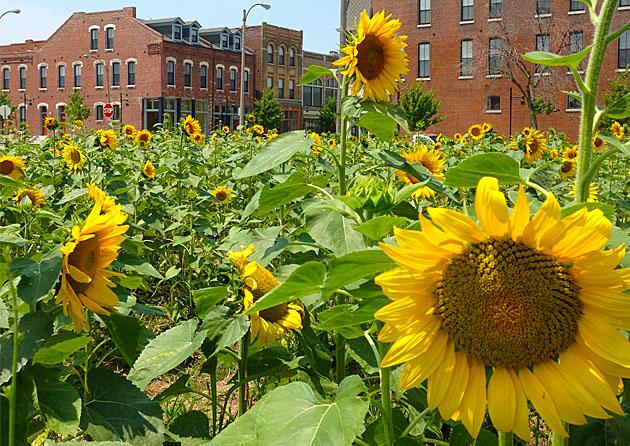 5-WU-Sustainable-Land-Lab-Sunflower-field