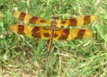 A Halloween pennant dragonfly (Celithemis eponina) perches on grass. (Courtesy Travis Mohrman)