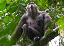 Before becoming part of the park, the Goualougo Triangle was under threat of logging, poaching and encroachment by human populations. The Republic of Congo is giving researchers a continued opportunity to study chimpanzee communities in a large, intact environment. (Courtesy Ian Nichols)