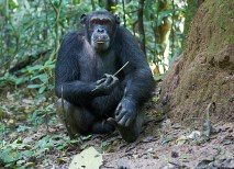 Studies by Sanz and Morgan have shown that this population of chimpanzee uses a number of specialized tools to dig for food sources. (Courtesy Ian Nichols)