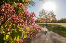 Fall foliage begins to appear Oct. 13 on the Danforth Campus. (Photo: Joe Angeles/Washington University)