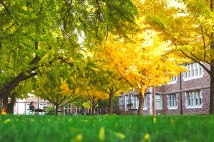 The gingko trees begin to change colors Nov. 3 on the Danforth Campus. (Photo: James Byard/Washington University)