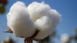 New Textile Factory Uganda Benefit Cotton