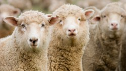 Wool Prices End Season on Quiet