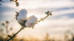 Pakistan University Invents Disease-Resistant GM Cotton