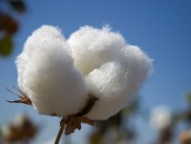 U.S. Cotton Prices Firm in December