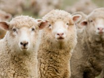 A Wild Ride for Wool Prices