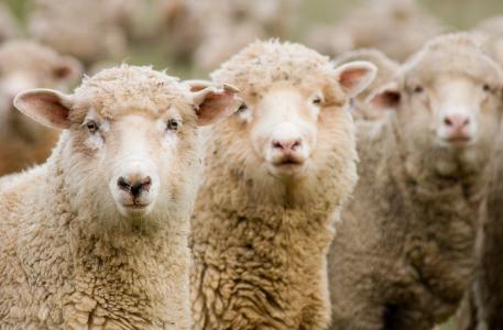 Sheep_wool