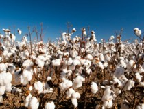 Cotton Prices Slip in March