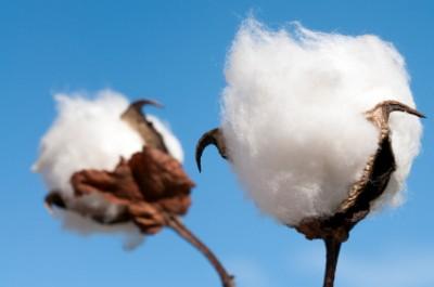 Cotton Boll Close-Up