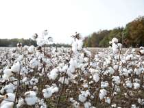 Study Says Cotton Certification Growing but Still Marginal