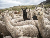 10 Myths of Peruvian Alpaca