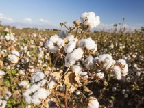 USDA Unveils Cost Share Program to Improve Domestic Cotton Production