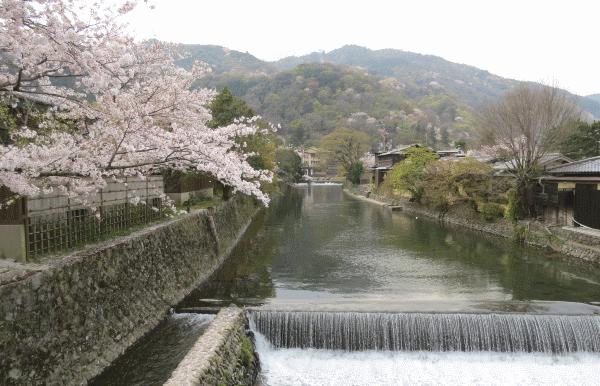 嵐山の山桜