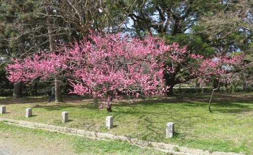 京都御苑の梅1