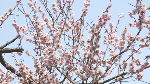 京都御苑の梅3