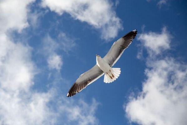 seagull freedom