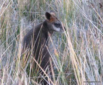 WallabyWilsonsProm_001