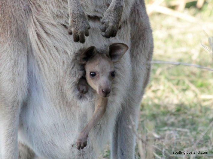 australian-kangaroo (12)