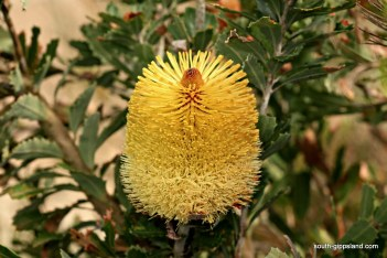 australian-native-flowering-plants (15)
