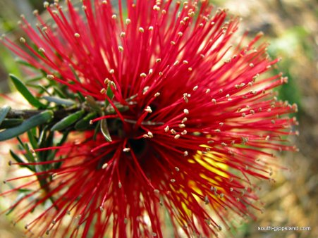 australian-native-flowering-plants (3)