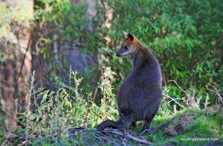 australian-wallaby-001