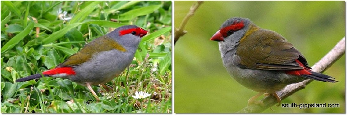 we occasionally glimpse a firetail