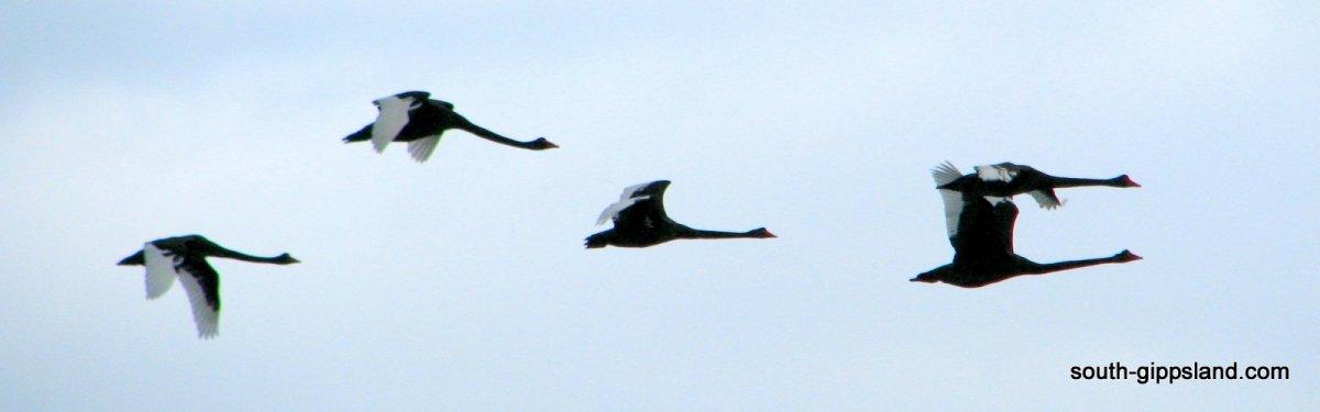 flying-native-australian-birds