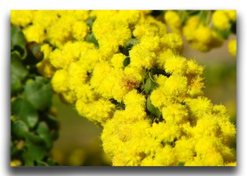 Acacias or Wattle trees in flower