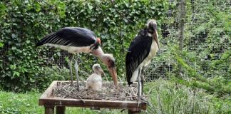 Stork brings double surprise to Crocworld Conservation Centre