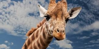 Giraffe poached, SAPS captain plus three arrested