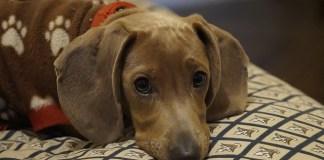 5 Popular And Best Short-Legged Dogs