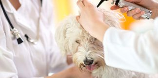 Dog Ear Infections: Symptoms, Causes, Treatment, and Prevention
