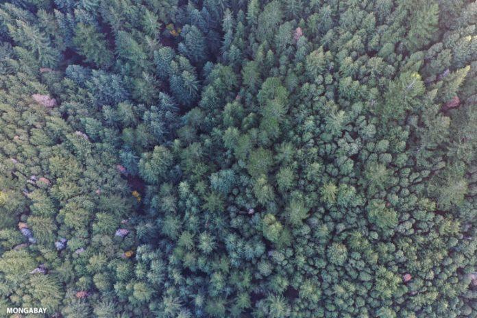 California redwood forest. Photo by Rhett A. Butler.