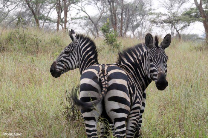 Zebra in Rwanda. Photo by Rhett A. Butler