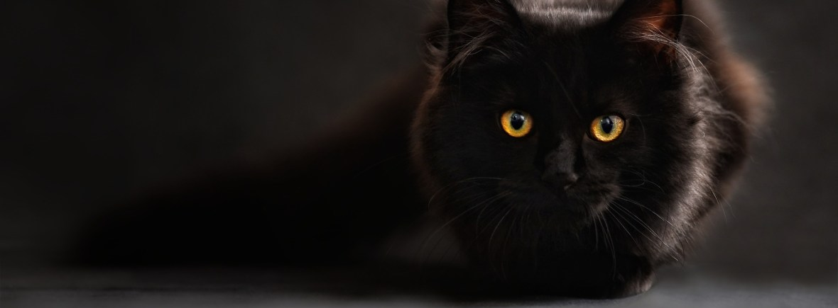 A black cat appears ready to pounce at the camera.