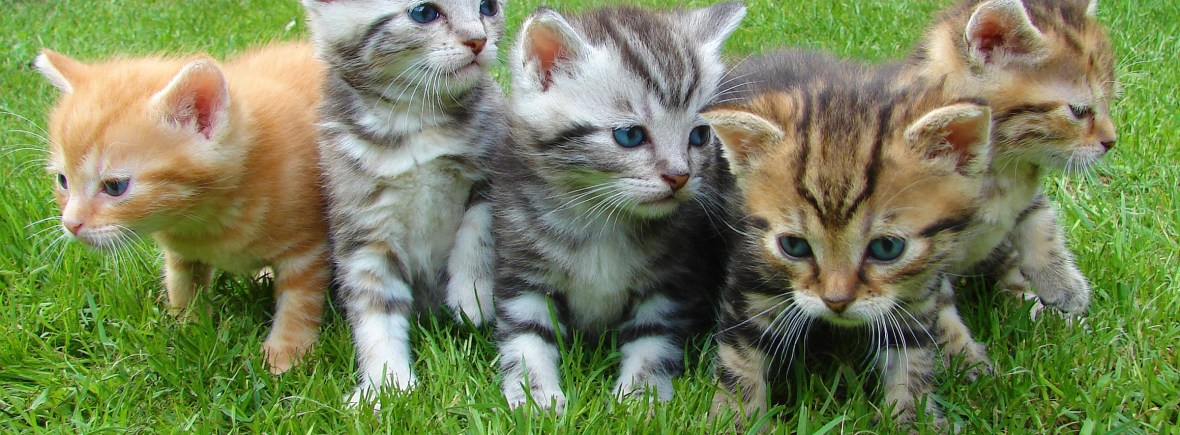 A little of adorable kittens play on a lawn of green grass.